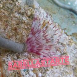 Spirographe d'aquarium