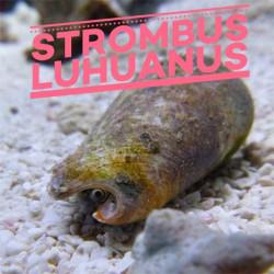 Strombus luhuanus | CATALOGUE