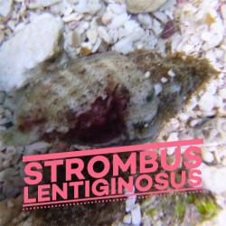 Strombus lentiginosus