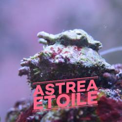 Escargot Astrea etoile