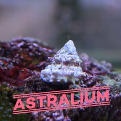 Escargot Astralium sp. |...