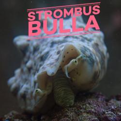 Strombus bulla | CATALOGUE