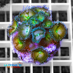 Palythoa sp. Bleu-vert |...