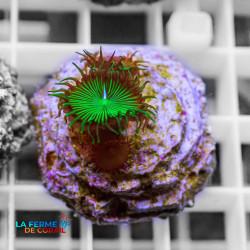 Palythoa sp. Vert | CATALOGUE