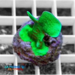 Pavona cactus vert Fluo|...