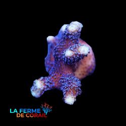 Stylophora pistillata violet