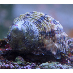 Escargot Turbo setosus