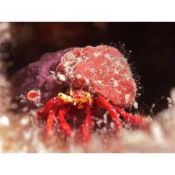 BH Elassochirus sp. rouge