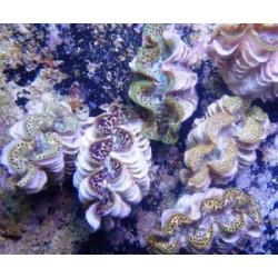 tridacna maxima 4-6cm GOLD
