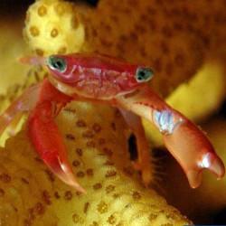 Crabe Trapezia lutea