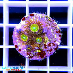 [FDC] Zoanthids Sunny D |...