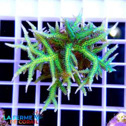 Seriatopora hystrix Vert |...