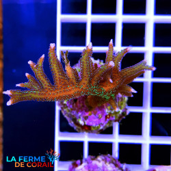 Seriatopora hystrix Violet...