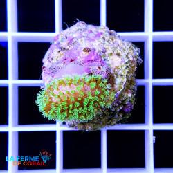 Sarcophyton sp. Neon green...
