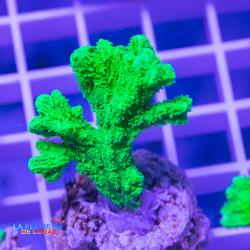 Hydnophora rigida Extra |...